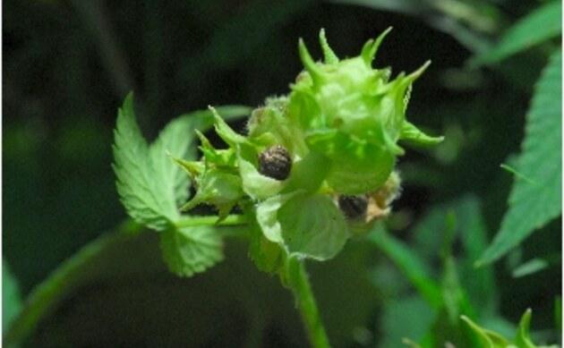 <b>Japanischer Hopfen - <i>Humulus japonicus</i></b>