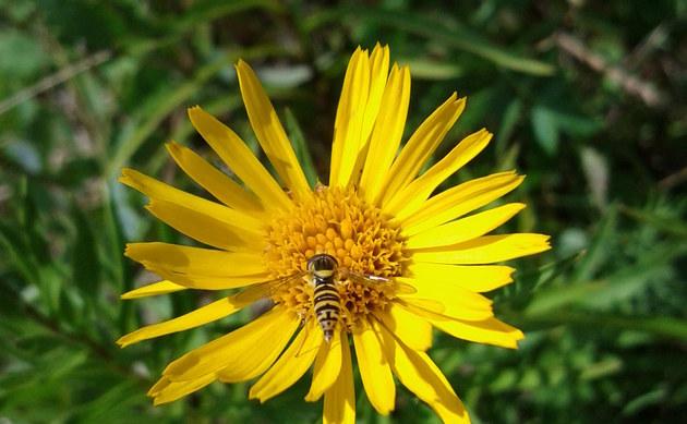 <b>Schwert-Alant - <i>Inula ensifolia</i></b>