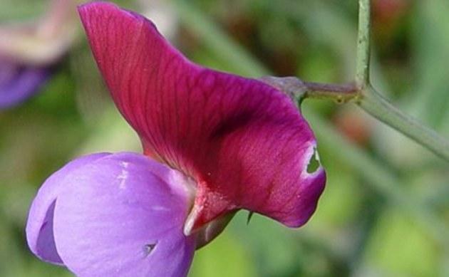 <b>Purpurne Platterbse - <i>Lathyrus clymenum</i></b>