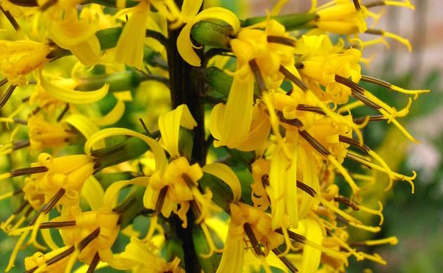 <b>Przewalski-Goldkolben - <i>Ligularia przewalskii</i></b>