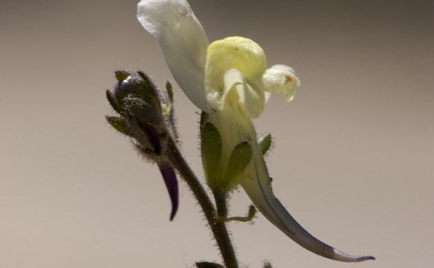 <b>Niedriges Leinkraut - <i>Linaria supina</i></b>