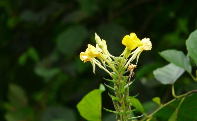 <b>Täuschende Nachtkerze - <i>Oenothera fallax</i></b>