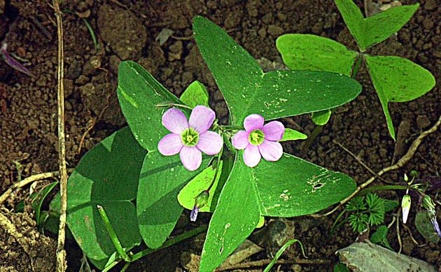 <b>Breitblättriger Sauerklee - <i>Oxalis latifolia</i></b>