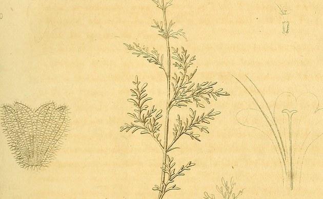 <b>Fiederschnittige Perowskie - <i>Perovskia abrotanoides</i></b>
