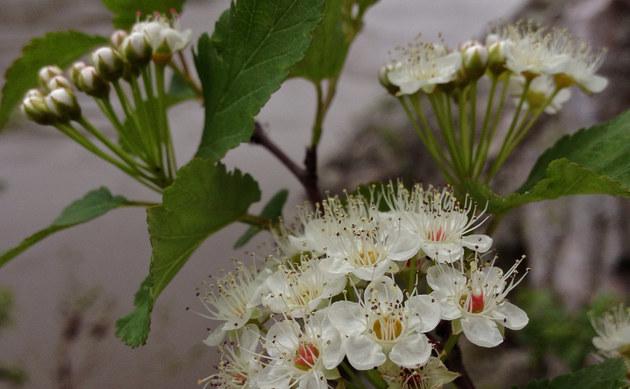 <b>Schneeballblättriger Spierstrauch - <i>Physocarpus opulifolius</i></b>