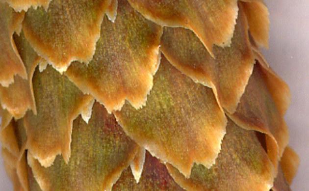 <b>Sitka-Fichte - <i>Picea sitchensis</i></b>