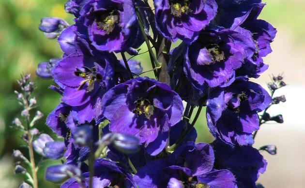 <b>Stauden Rittersporn - <i>Delphinium x cultorum</i></b>