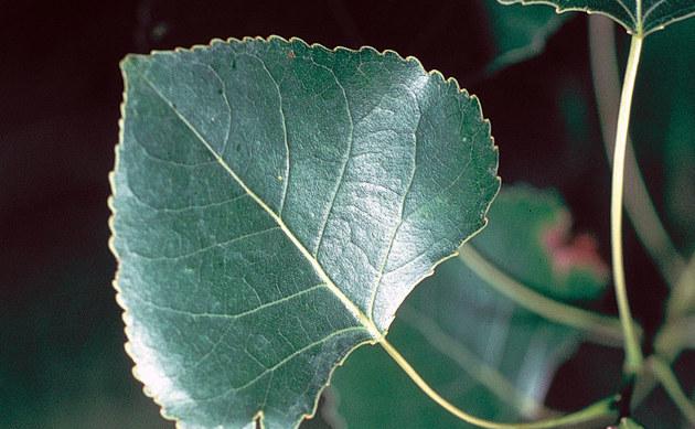 <b>Kanadische Schwarz-Pappel - <i>Populus deltoides</i></b>