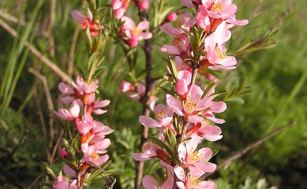 <b>Zwerg-Mandel - <i>Prunus tenella</i></b>