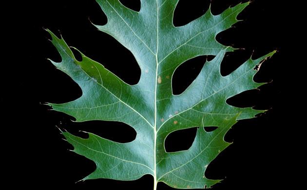 <b>Scharlach-Eiche - <i>Quercus coccinea</i></b>