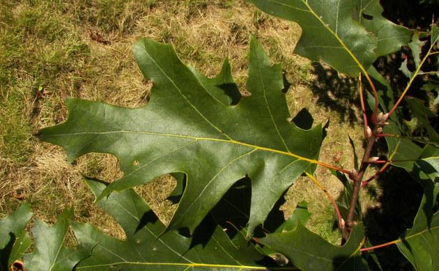 <b>Färber-Eiche - <i>Quercus velutina</i></b>