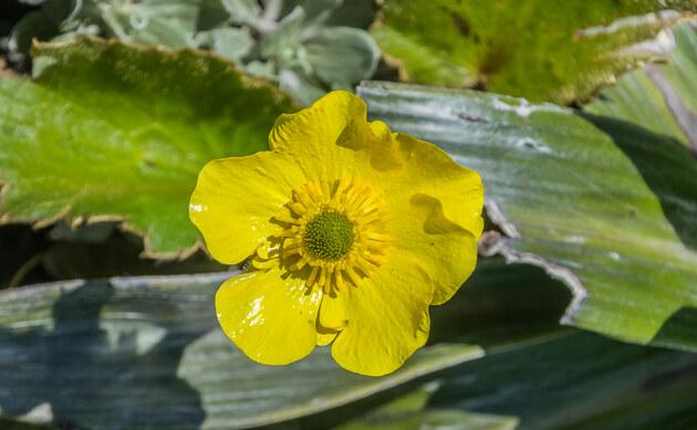 <b>Haasscher Gold-Hahnenfuß - <i>Ranunculus haasii</i></b>