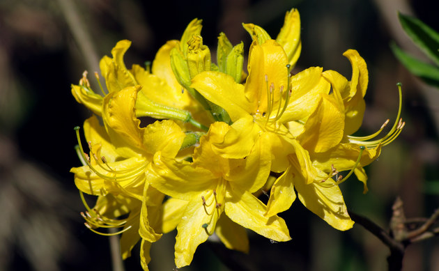 <b>Pontische Alpenrose - <i>Rhododendron luteum</i></b>