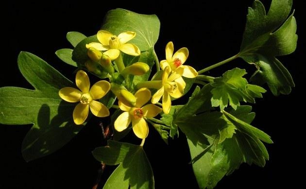 <b>Gold-Johannisbeere - <i>Ribes aureum</i></b>