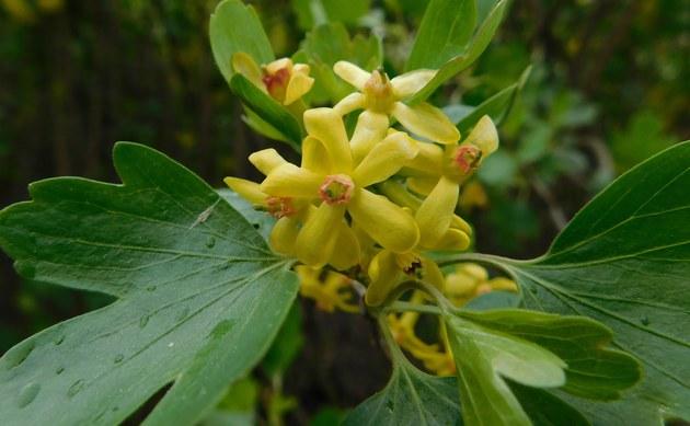 <b>Wohlriechende Johannisbeere - <i>Ribes odoratum</i></b>