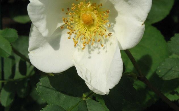 <b>Goldgelbe Rose - <i>Rosa xanthina</i></b>
