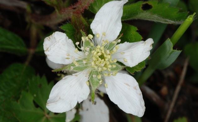 <b>Allegheny-Brombeere - <i>Rubus allegheniensis</i></b>