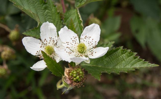 <b>Armenische Brombeere - <i>Rubus armeniacus</i></b>