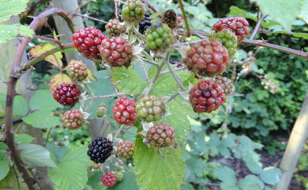 <b>Zweifarbige Brombeere - <i>Rubus bifrons</i></b>
