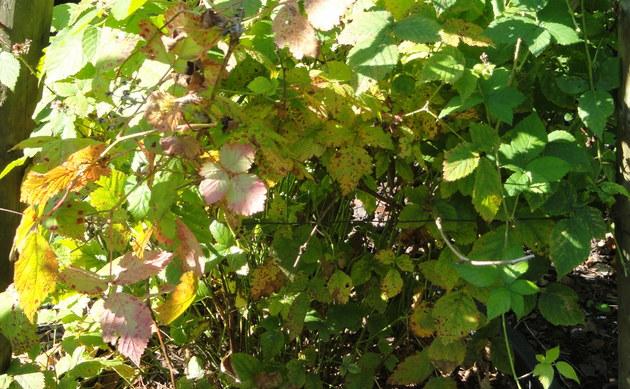 <b>Bewimperte Haselblatt-Brombeere - <i>Rubus camptostachys</i></b>