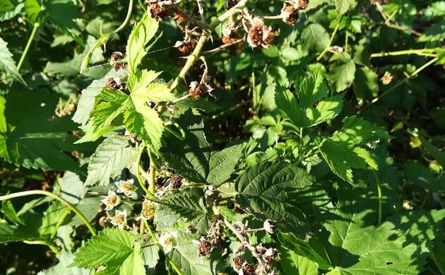 <b>Gotische Haselblatt-Brombeere - <i>Rubus gothicus</i></b>