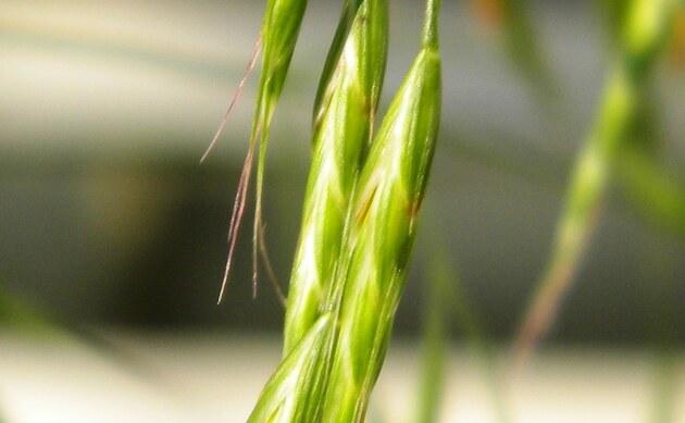 <b>Acker-Trespe - <i>Bromus arvensis</i></b>