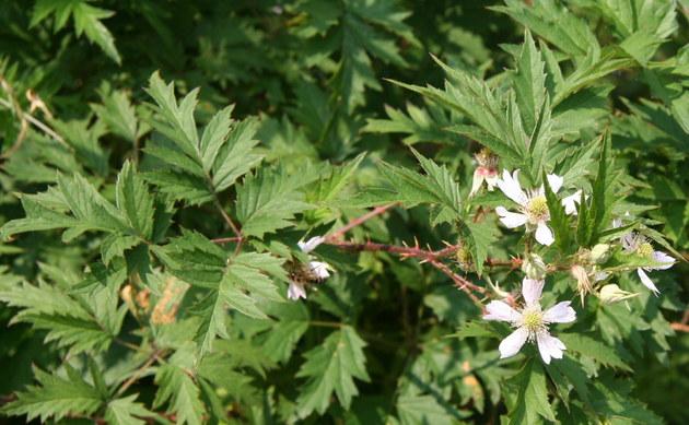 <b>Schlitzblättrige Brombeere - <i>Rubus laciniatus</i></b>