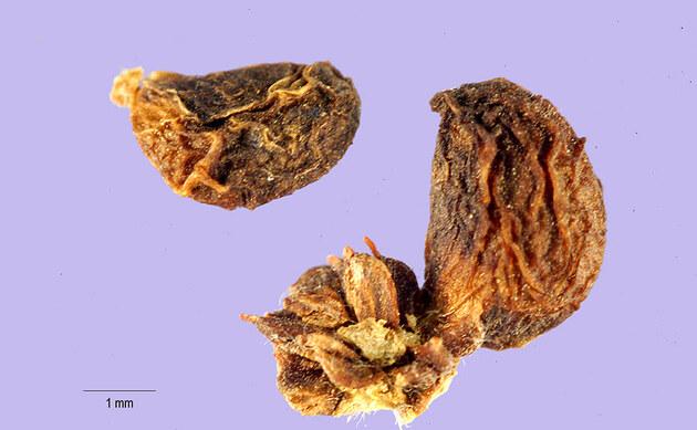 <b>Großblättrige Brombeere - <i>Rubus macrophyllus</i></b>