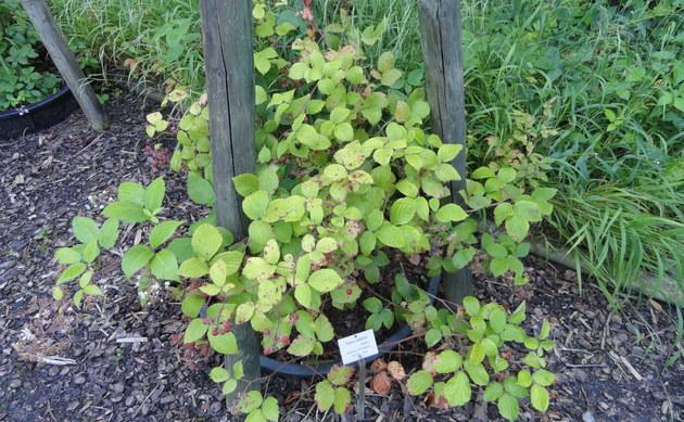 <b>Bleiche Brombeere - <i>Rubus pallidus</i></b>