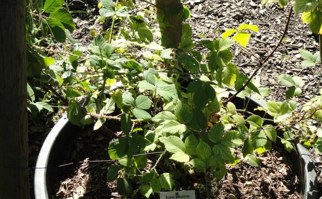 <b>Wald-Brombeere - <i>Rubus silvaticus</i></b>
