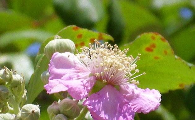 Mittelmeer-Brombeere - Rubus ulmifolius