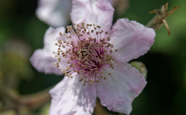 <b>Samt-Brombeere - <i>Rubus vestitus</i></b>