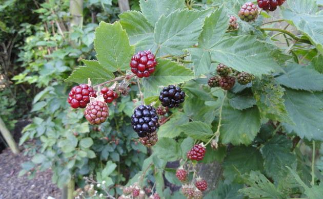 <b>Üppige Brombeere - <i>Rubus vigorosus</i></b>