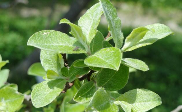 <b>Ägyptische Weide - <i>Salix aegyptiaca</i></b>