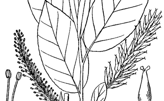 <b>Balsam-Weide - <i>Salix pyrifolia</i></b>
