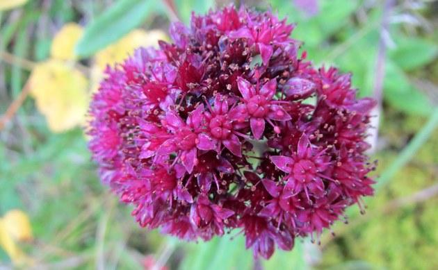 <b>Berg-Fetthenne - <i>Hylotelephium telephium subsp. fabaria</i></b>