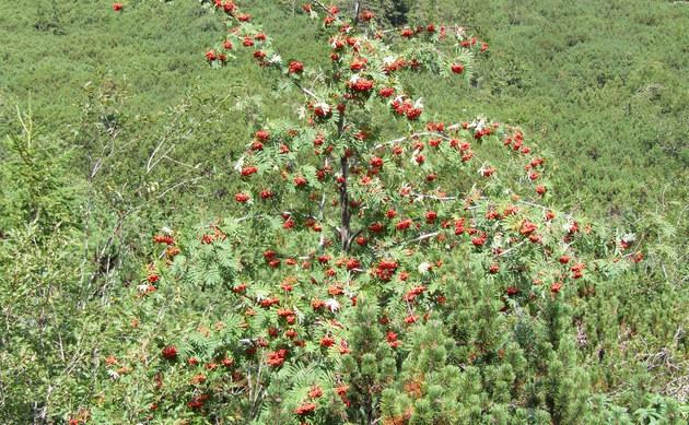 <b>Gebirgs-Vogelbeere - <i>Sorbus aucuparia subsp. glabrata</i></b>
