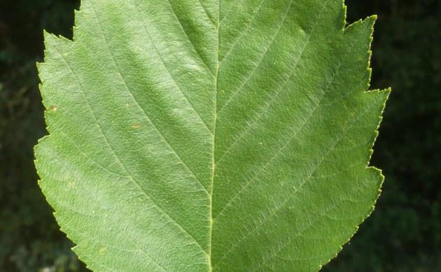 <b>Kordigast-Mehlbeere - <i>Sorbus cordigastensis</i></b>