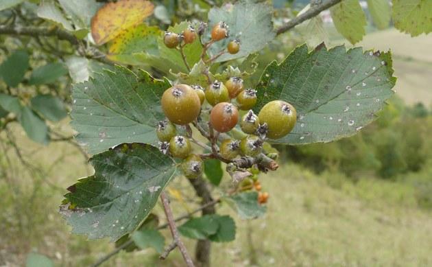<b>Eichstätter Mehlbeere - <i>Sorbus eystettensis</i></b>
