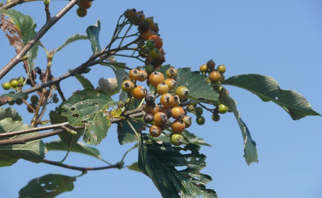 <b>Ries-Mehlbeere - <i>Sorbus fischeri</i></b>