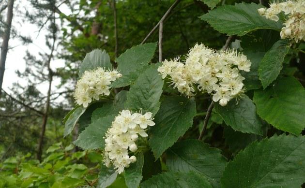 <b>Thüngersheimer Mehlbeere - <i>Sorbus haesitans</i></b>