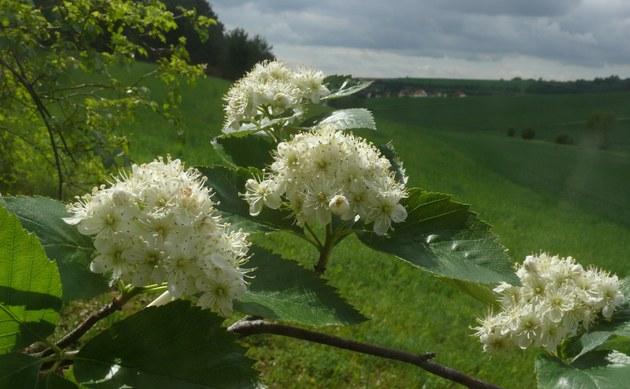 <b>Würzburger Mehlbeere - <i>Sorbus herbipolitana</i></b>