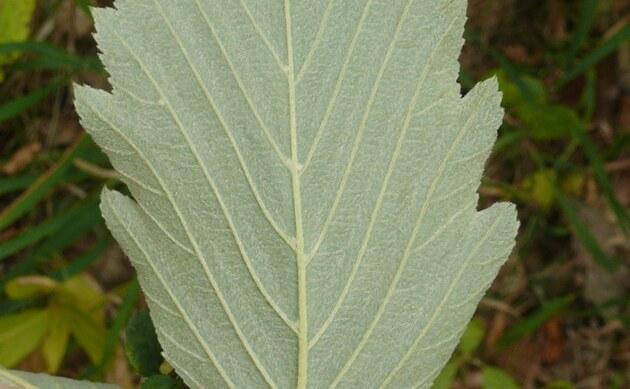 <b>Langblättrige Mehlbeere - <i>Sorbus perlonga</i></b>