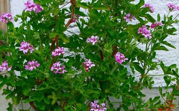 Zitronen-Geranie - Pelargonium graveolens