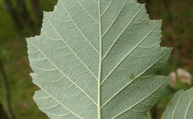 <b>Mädchen-Mehlbeere - <i>Sorbus puellarum</i></b>