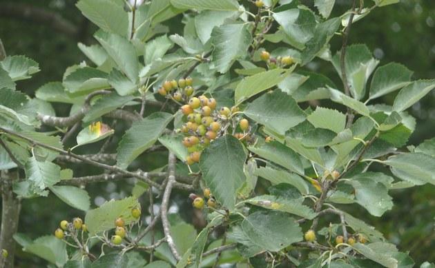 <b>Schuwerks Mehlbeere - <i>Sorbus schuwerkiorum</i></b>