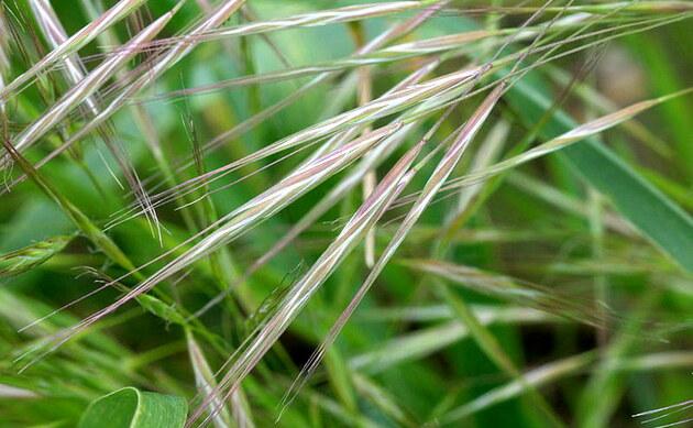 <b>Taube Trespe - <i>Bromus sterilis</i></b>