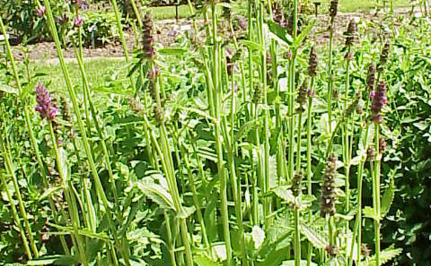<b>Knollen-Ziest - <i>Stachys affinis</i></b>