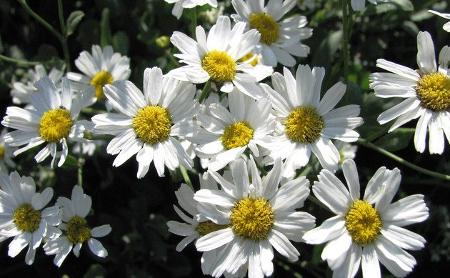 <b>Balsam-Wucherblume - <i>Tanacetum balsamita</i></b>