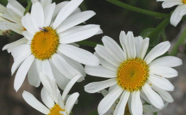 <b>Straußblütige Wucherblume - <i>Chrysanthemum corymbosum</i></b>